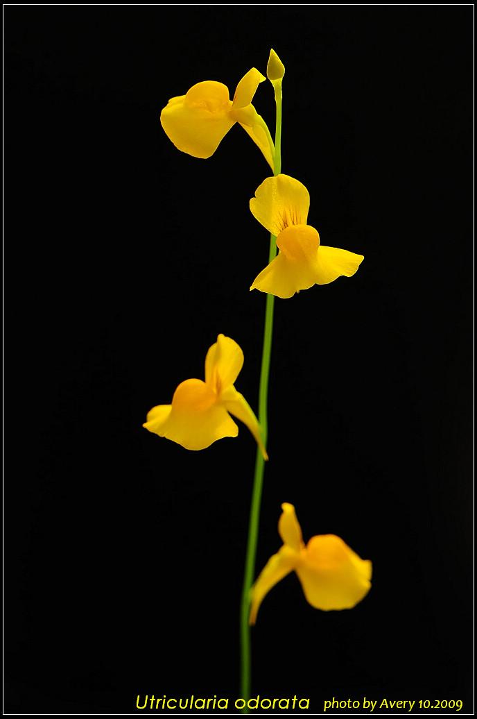 Utricularia odorata photos